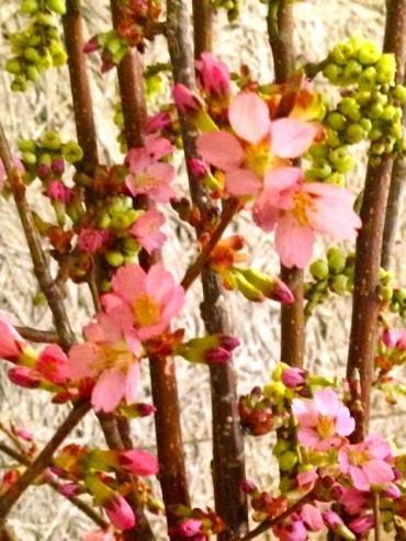 アベック桜