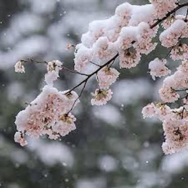 雪桜でスタート🌸今週のYOGA