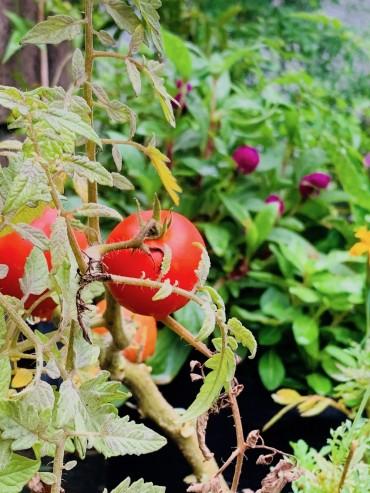 真っ赤になったトマト